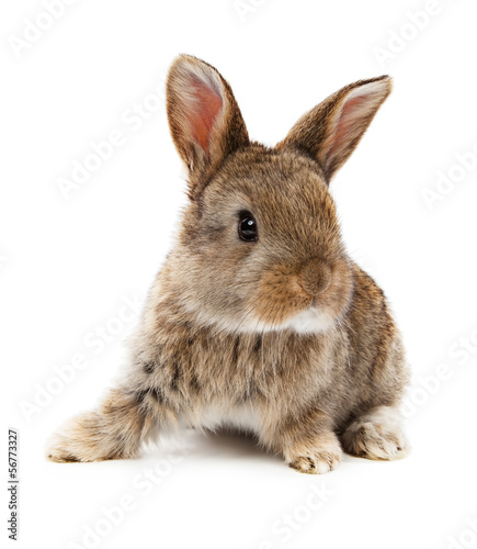 Animals. Rabbit isolated on a white background