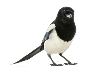 Common Magpie looking at the camera, Pica pica, isolated