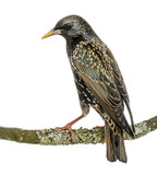 Rear view of a Common Starling perching on a branch