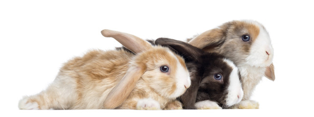 Group of Satin Mini Lop rabbits lying, isolated on white