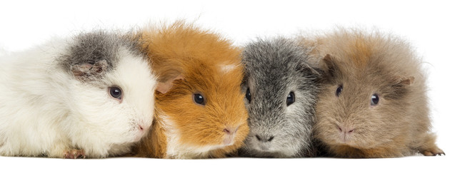 Swiss Teddy Guinea Pigs in a row, isolated on white