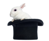 Mini rex rabbit goint out of a top hat, isolated on white - Fine Art prints