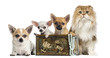 Group of Chihuahuas in a vintage box with Highland fold