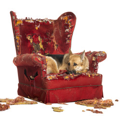 German Shepherd looking depressed on a destroyed armchair