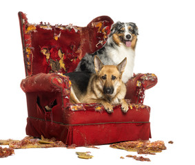 German and Australian Shepherd on a destroyed armchair, isolated