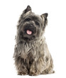 Front view of a Cairn Terrier sitting, panting, isolated on whit