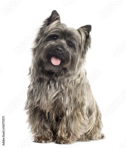 Pies rasy Cairn Terrier