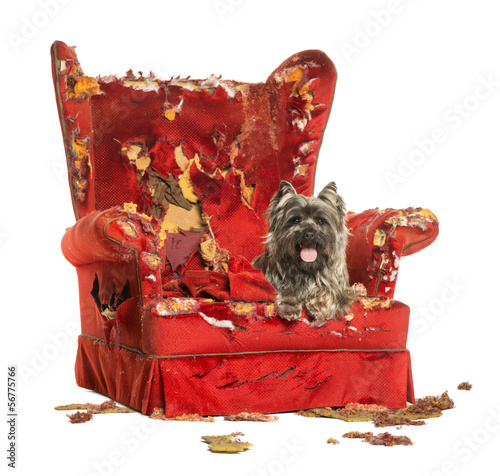 Cairn Terrier panting, lying on a destroyed armchair, isolated