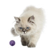 British Longhair kitten playing with a ball, 5 months old