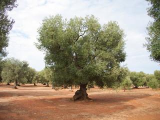 uliveto in Puglia