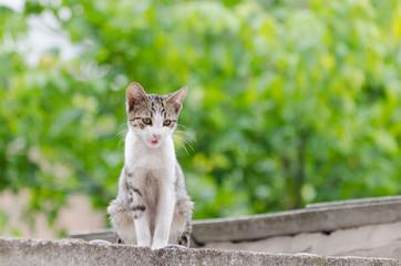 tigerish-whit cat on garage