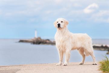 golden retriever dog standing