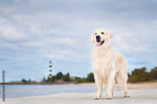 golden retriever dog standing