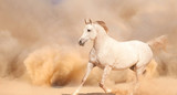 Purebred white arabian horse running in desert - 56786528