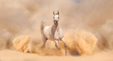 Purebred white arabian horse running in desert - 56786543
