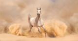 Purebred white arabian horse running in desert - 56786543