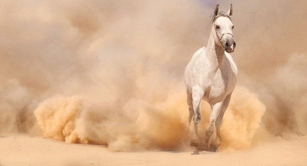 Purebred white arabian horse running in desert