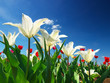 Tulips on the sky background. Natural summer composition
