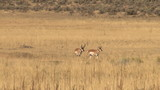 Pronghorn Antelope moving through the grasses