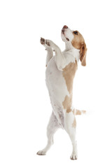 dancing dog beagle