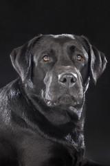 Labrador retriever on a black background