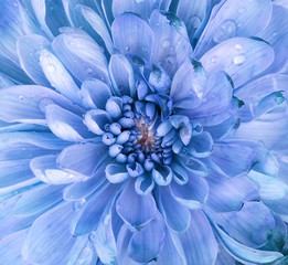 Chrysanthemum flower macro shot