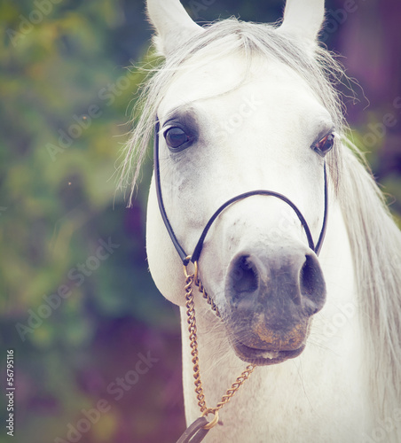 portrait of white  purebred arab. close up