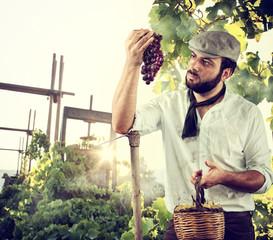 Farmer harvesting the grape in the vineyard