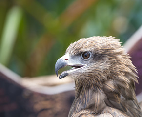 Closeup Black Kite (Milvus migrans)