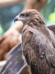 Closeup Black Kite (Milvus migrans)