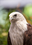 Close up Brahminy Kite (Haliastur indus)