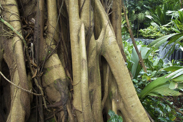Tropical ficus tree roots