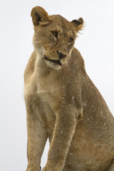 Wild lion against clear background