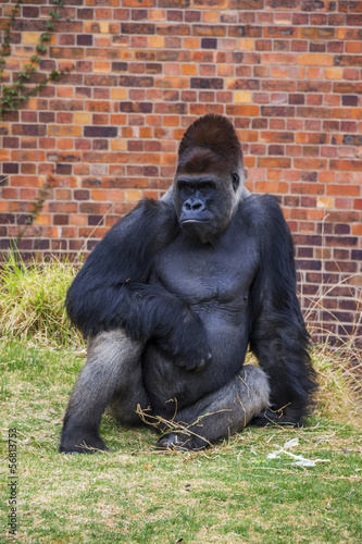 A Portrait of Gorilla Sitting on Grass in a Zoo