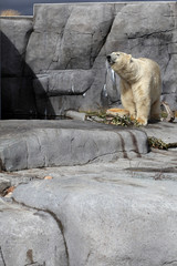 Polar bear in zoo approaching his meal.