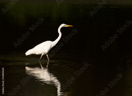 White heron stands in shallow water