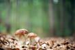 mushroom - 56816584