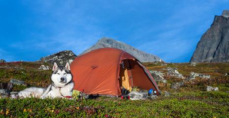 Siberian Husky and Tent