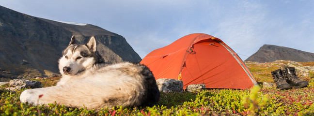 Siberian Husky and Tent