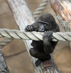 cub of a gorilla
