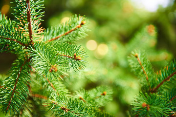 Background of spruce branches