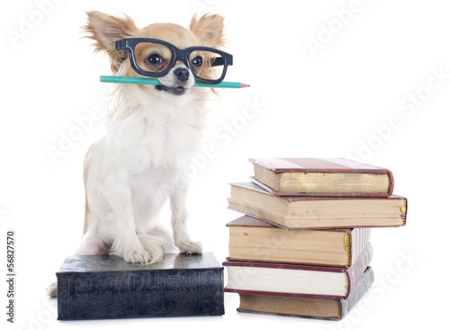 Fotobehang Dragen chihuahua and books