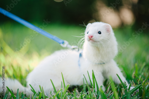 A white domestic ferret taking a walk on a leash in the green gr