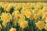 Yellow daffodils in a field