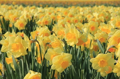 Papiers peints Narcisse Yellow daffodils in a field