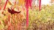 красные цветы амаранта в саду, огороде