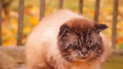 кот пушистый с голубыми глазами сидит на пне