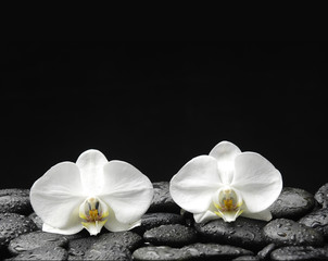 Two beautiful orchid on pebble in water drops