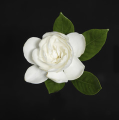 Gardenia flower with leaf on black background