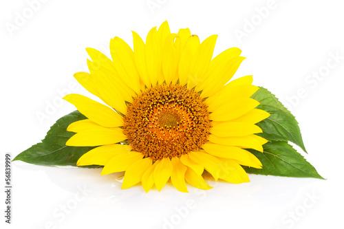 Plexiglas Zonnebloemen Sunflower